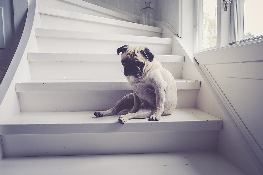 Pug Sitting on the stairs